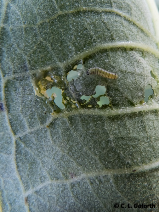 monarch first instar