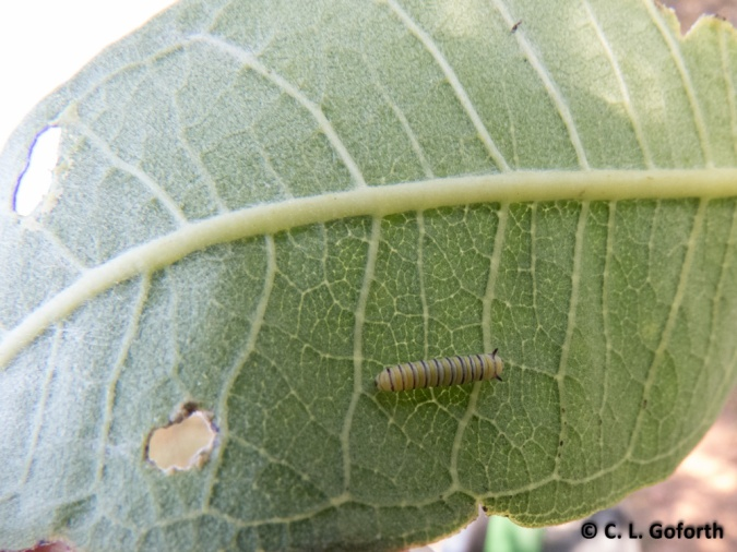 monarch second instar