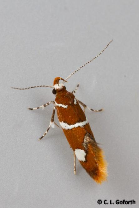 Suzuki's promalactis moth
