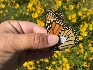 tagged-monarch-before-release