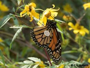 taqged monarch feeding on nectar