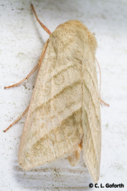 Tobacco budworm moth