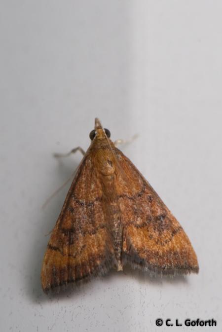 Variable reddish pyrausta moth