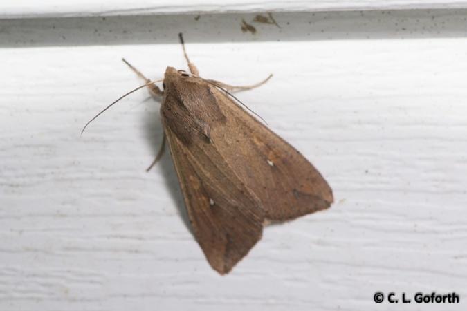 White speck moth