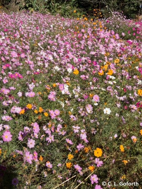 flower-field