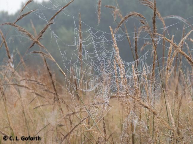 Dewey spiderweb